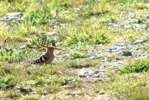 Hoopoe, Galley Head, West Cork
