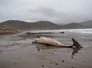 Rossbeigh Cuvier's beaked whale