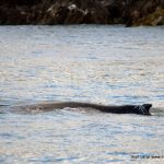 Humpback Whale, Inchydoney, West Cork