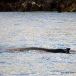 Humpback Whale, Inchydoney, West Cork