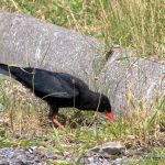 Chough foraging in West Cork