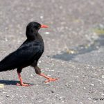 Chough West Cork