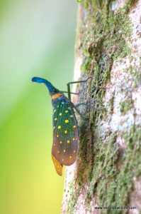 Mad looking insect -- a lantern bug