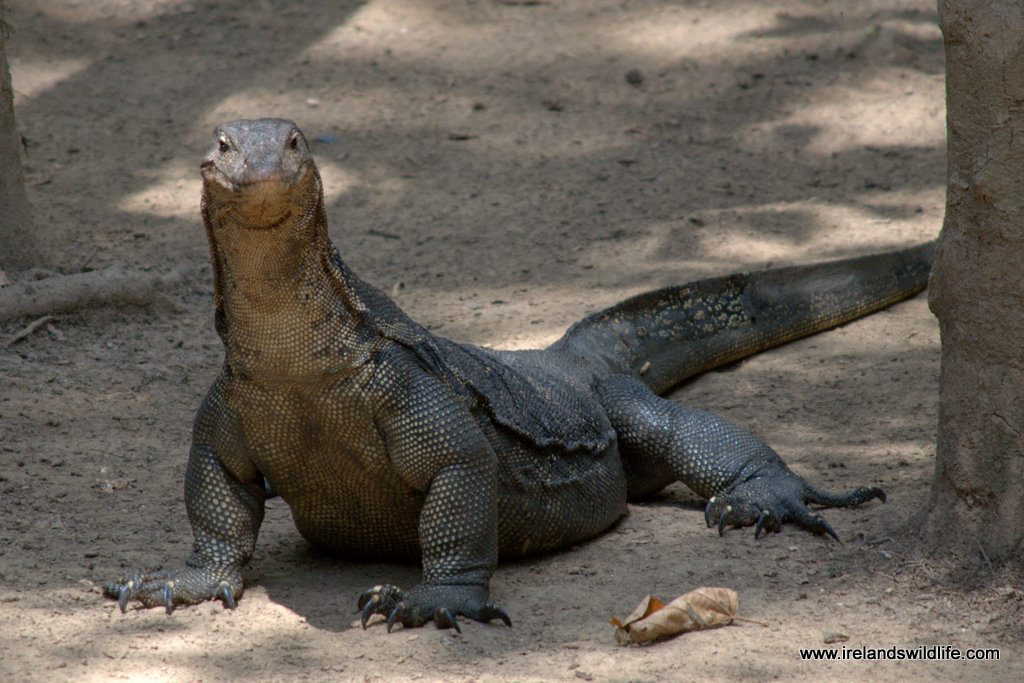A humongous water monitor lizard: brute of a reptile