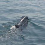 Bowhead Whale Ireland