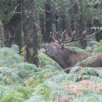 Bellowing red deer stag Killarney