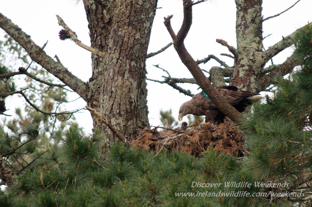 White-tailed eagle chick in nest