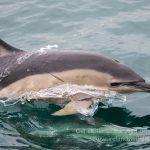 Short beaked common dolphin