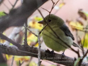 Scarlet tanager record shot