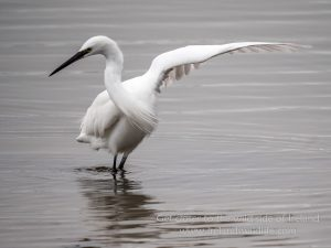 "Little egret ""dancing"""