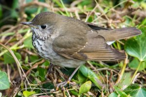 A grey-cheeked thrush in Ireland