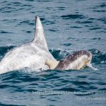 Risso's Dolphin mother and calf in Ireland