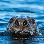 Grey seal wildlife holiday Ireland