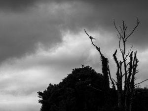 Magpie Sentinel
