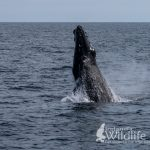 Breaching Humpback Whale, Wildlife Tours Ireland