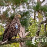 White-tailed Eagle: Wildlife Holidays in Ireland