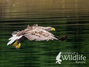 White-tailed Eagle, West Cork, Ireland