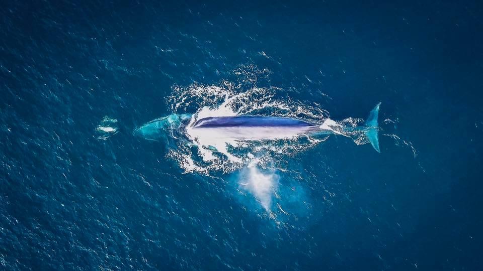 Fin Whale Aerial Shot