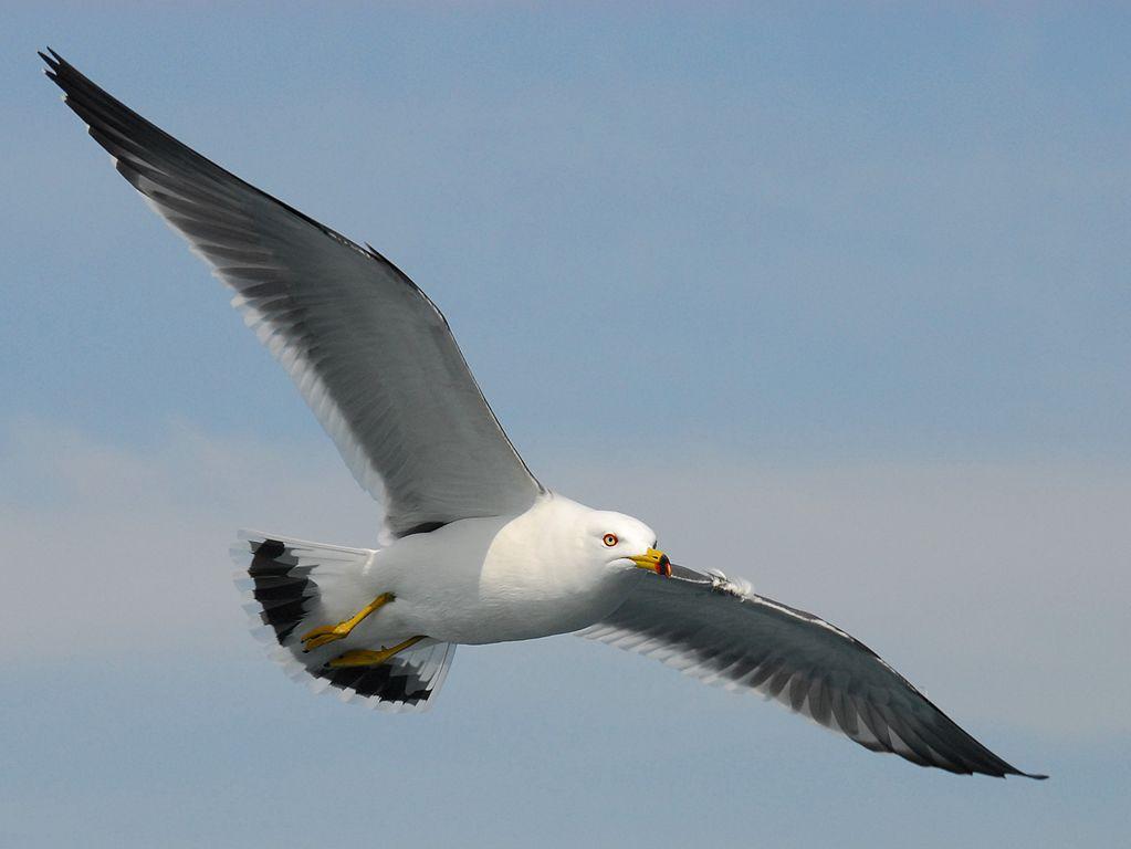 Black-tailed_gull