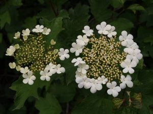 Guelder Rose Irish Wildflowers