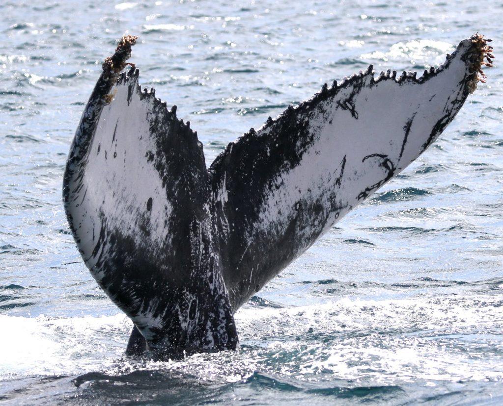 Humpback Whale match Cape Verde
