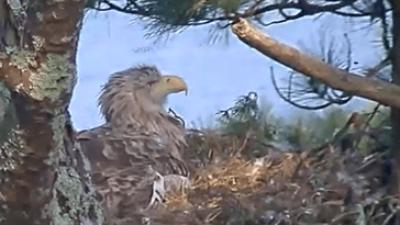 White-tailed eagle live webcam