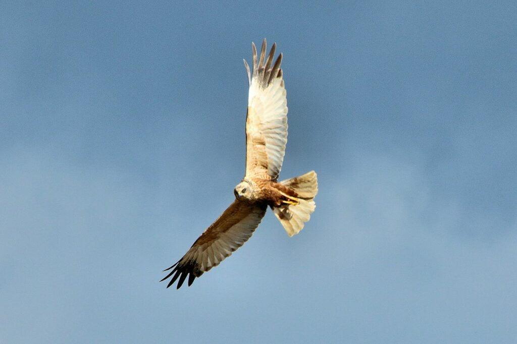 Marsh Harrier Breeds in Ireland Again