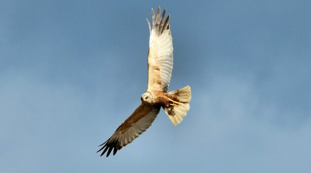 Marsh Harrier Breeds in Ireland Again