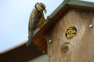 Hole-entrance nest boxes are ideal for garden birds like blue-tits